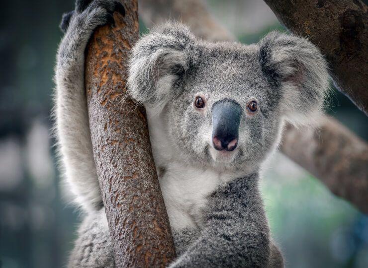 Australian koalas